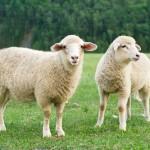 「羊」の英語|ヤギとの違いや絶対に押さえたい5つの基礎