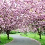 「桜」の英語表現|正しい発音と説明や関連英語をマスター!