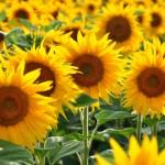 「ひまわり」の英語|発音と2つの花言葉や豆知識も紹介!